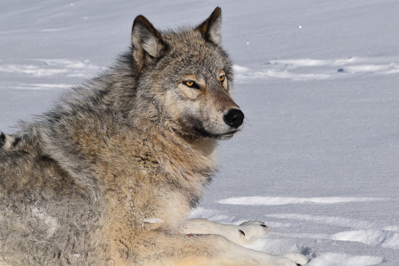 Wolf lying in the snow.