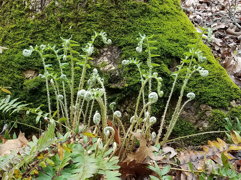 New fronds emerge in the spring. Photo: Jerry Reynolds.