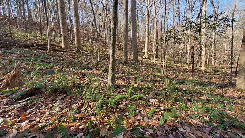 Christmas Fern-covered slope at Hemlock Bluffs Nature Preserve. Photo: Jerry Reynolds.