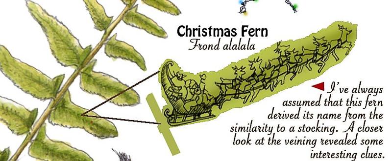 Christmas Fern art by David Williams.