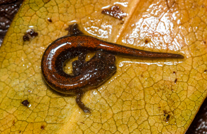 A juvenile Red-backed Salamander curled up on a yellow leaf.