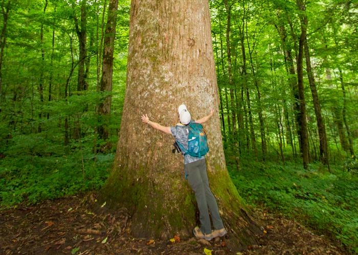 A teacher hugs a giant Tulip Poplar tree in Joyce Kilmer Memorial Forest.
