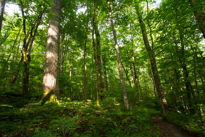 A grove of mixed hardwoods in a mountain cove.