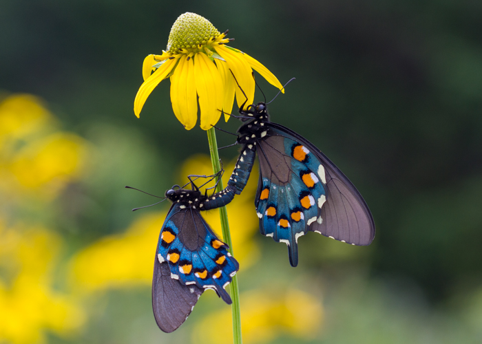 Pipevine Swallowtail Butterflies mating on green-headed coneflower.