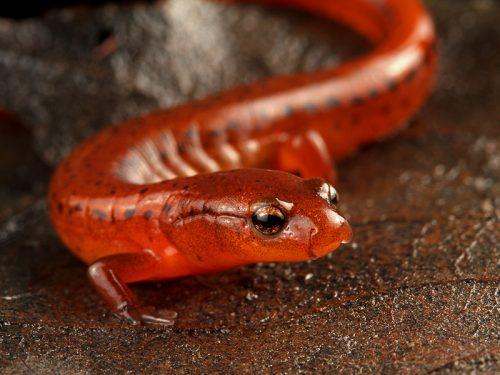 Carolina Sandhills salamander discovery featured in Walter Magazine