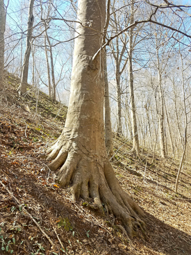 American Beech well anchored on steep slope of Swift Creek Bluffs.