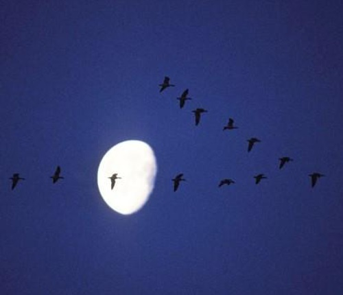 Birds flying in front of the moon