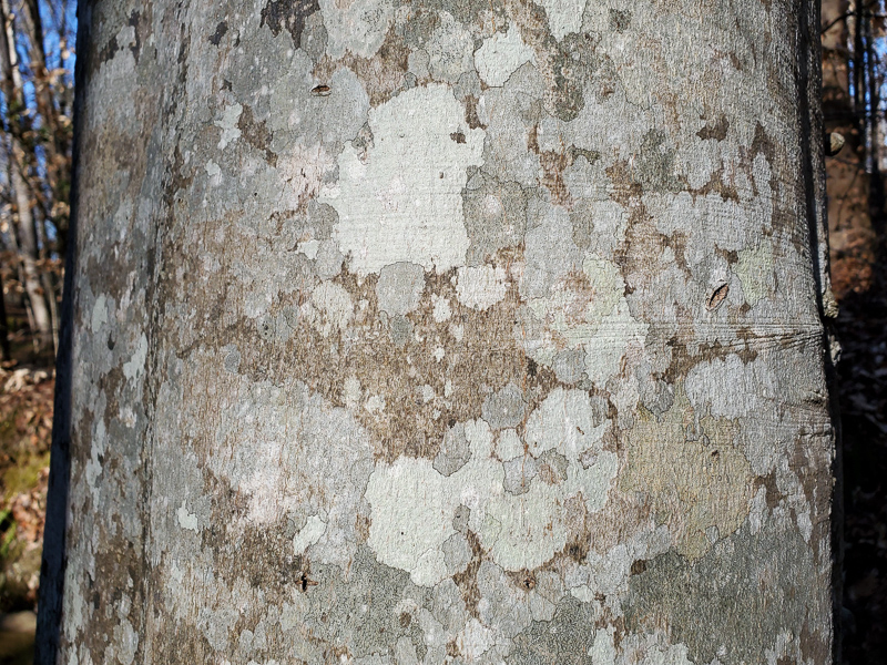 Mosaic of Crustose Lichens on smooth bark of American Beech