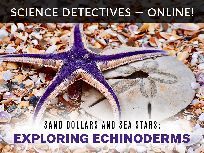 Science Detectives Online Exploring Echinoderms