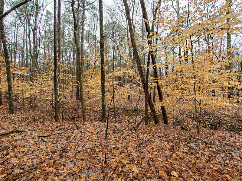 Young American Beech trees holding on tightly to it leaves in winter