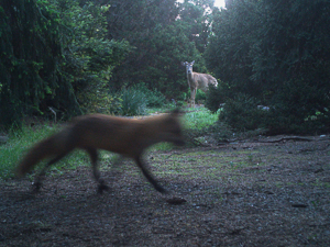 A white-tailed deer watches as a red fox passes by in the National Arboretum.