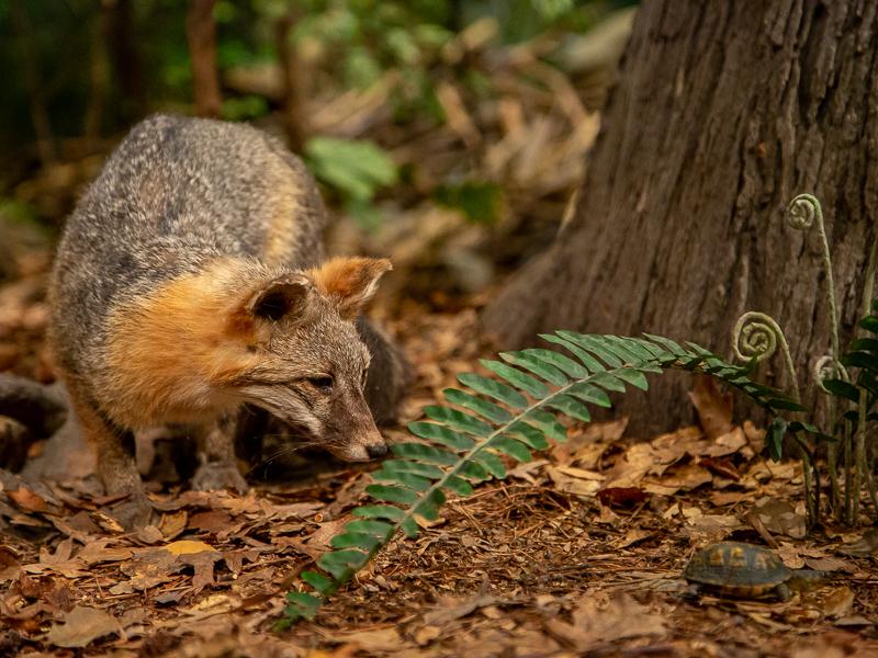 Gray fox investigating a box turtle