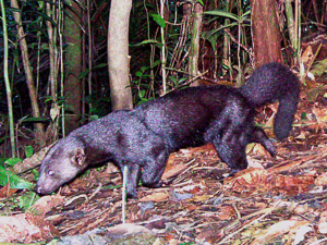 A Tayra is captured in a camera trap photo.