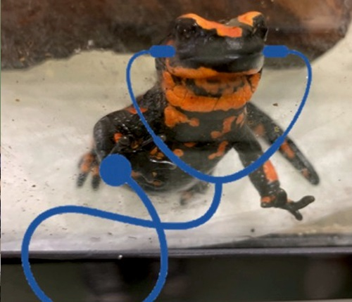A salamander with a blue stethoscope drawn on it
