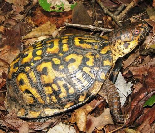 A box turtle in leaf litter