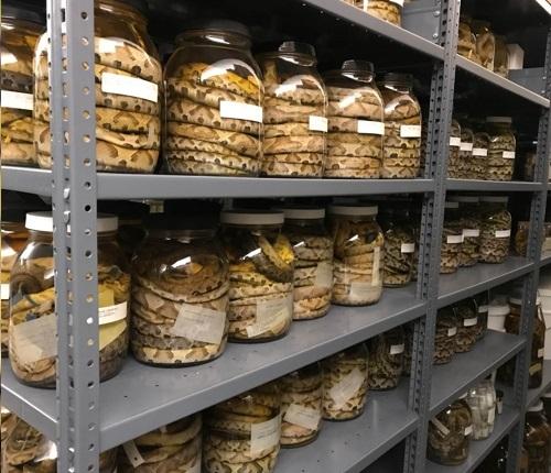 Snake specimens in jars on shelves