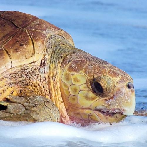 A loggerhead sea turtle head
