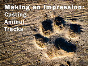Making an Impression: Casting Animal Tracks. (Photo of dog track.)