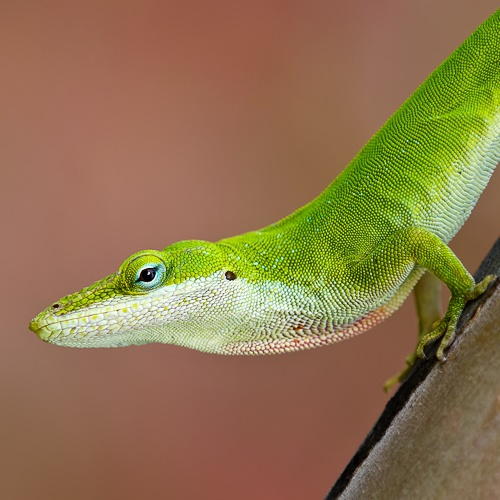 A close up of an anole, which is green on top and white on the bottom
