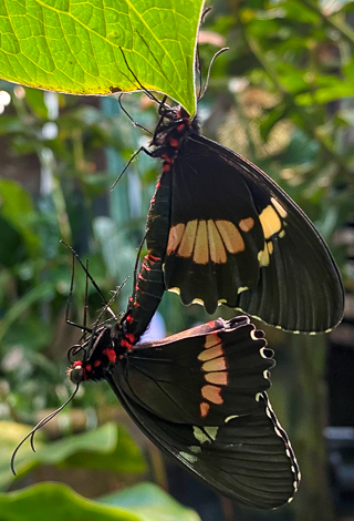 A pair of mating cattleheart butterflies in the Living Conservatory.