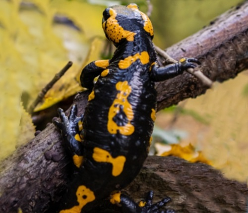 A black and yellow salamander on a stick