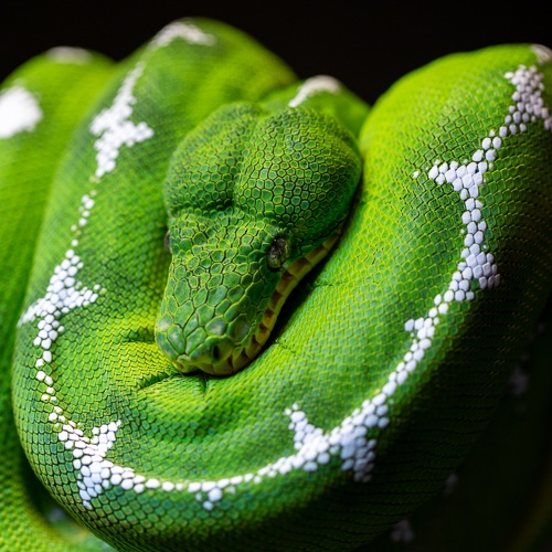 A green emerald tree boa with white markings, coiled