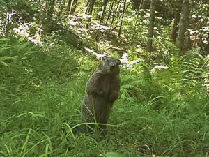 Standing groundhog