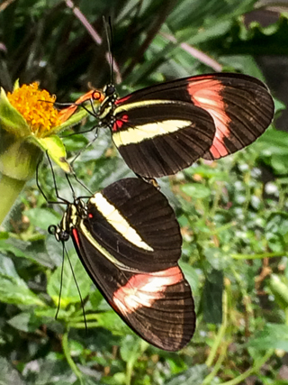 A pair of mating Postman butterflies.