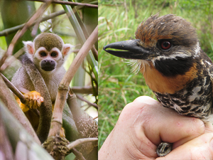 Can mammals thrive near urban areas in the Neotropics?