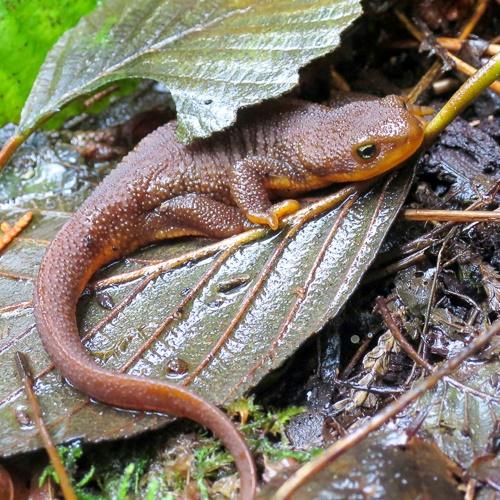A rough-skinned newt on a leaf