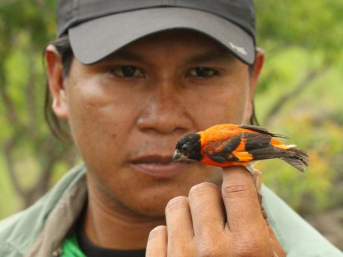NCMNS Ornithology Unit awarded National Geographic grant for conservation of endangered Red Siskin