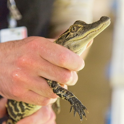 A small baby alligator in someone's hand