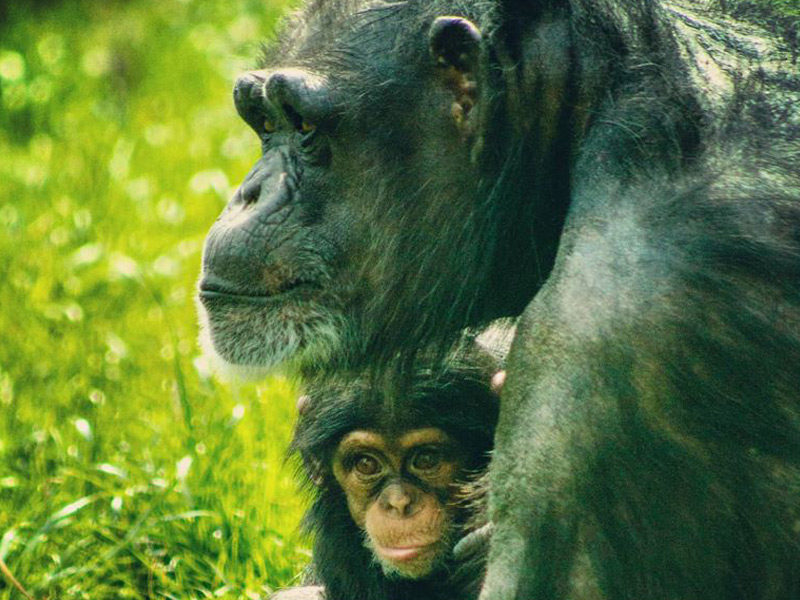Chimpanzee mother Amy and her offspring, Asha.