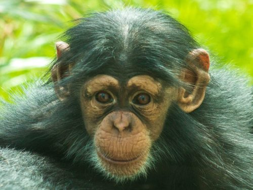 Who's Your Daddy? Museum helps North Carolina Zoo with chimp paternity test