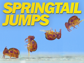 Springtail jumping video