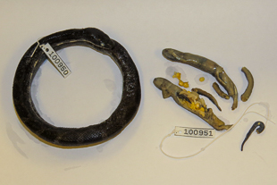 Eastern ratsnake and stomach contents consisting of two gravid female green salamanders, collected in Henderson County, North Carolina, USA. Photo: Jeff Beane/NCMNS.