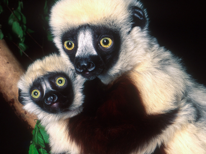 Coquerel's Sifakas by David Haring