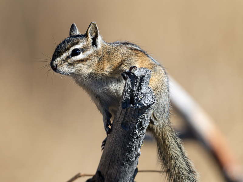 Chipmunk on a downed branch