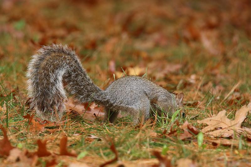 Eastern gray squirrel burying an acorn in fall.