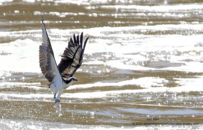 Osprey with a White Perch in its talons. Photo: Ellen Tinsley.