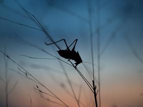 Orthopteran at Prairie Ridge at twilight.