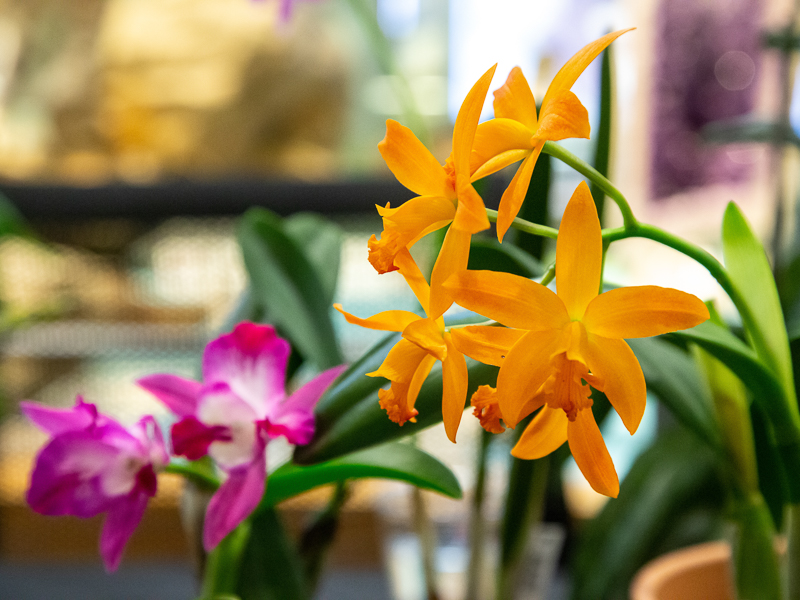 Photo of magenta and yellow orchids