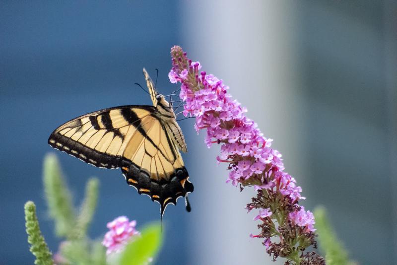 Swallowtail on butterfly bush. Photo: Karen Swain.