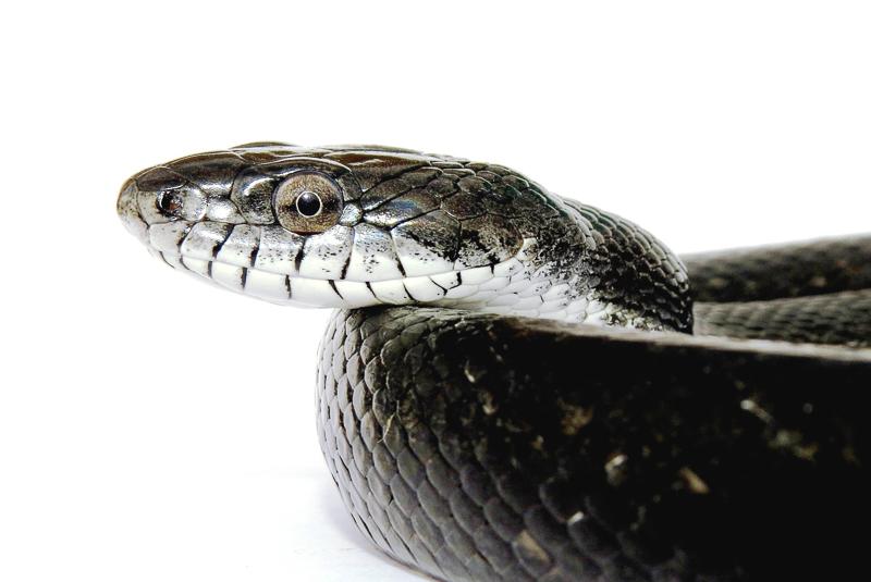 Eastern ratsnake - Panterophis alleghaniensis. Photo: Jeff Beane/NCMNS.
