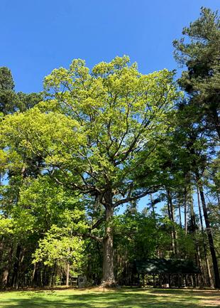 A mature White Oak tree.