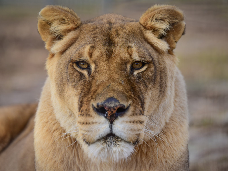 Kiara lioness from the Conservators Center