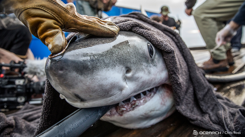 Great white shark being examined by OCEARCH researchers. Photo: Chris Ross/OCEARCH.