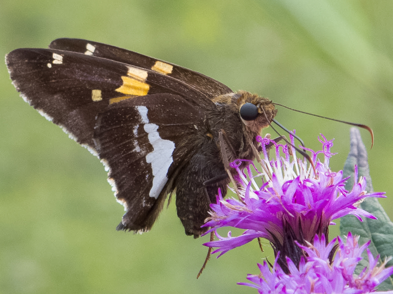 Silver-spotted Skipper by Chris Goforth
