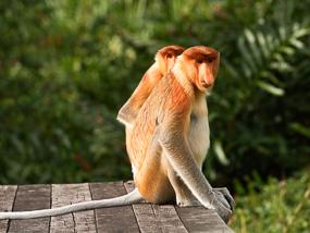 Proboscis Monkeys in Borneo.