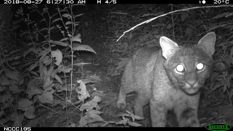Bobcat on man-made trail.